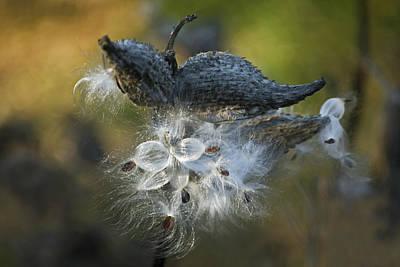 Photograph - Milkweed by Elsa Marie Santoro