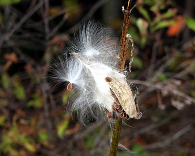 Photograph - Milkweed Fluff by George Jones