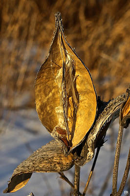 Photograph - Milkweed Gold by John Meader