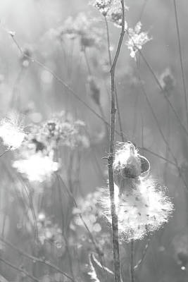 Photograph - Milkweed In Afternoon Sun Black And White by Joni Eskridge