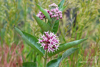 Photograph - Milkweed In Bloom by Ann E Robson
