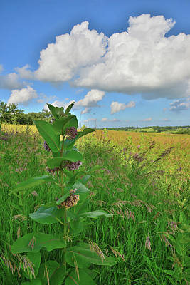 Photograph - Milkweed In Glacial Park by Ray Mathis
