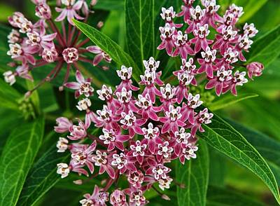 Photograph - Milkweed by Katherine White