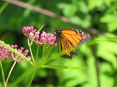 Photograph - Milkweed Lunch by Betty-Anne McDonald