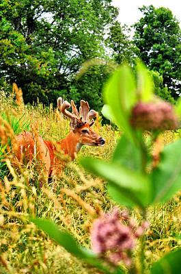 Bucks In Velvet Photograph - Milkweed Monster by Emily Stauring