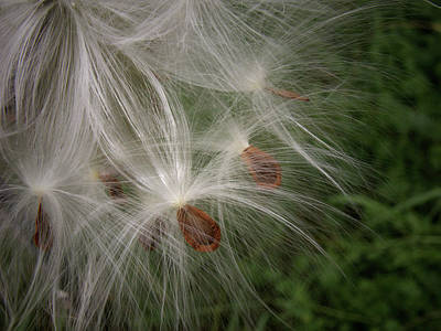 Photograph - Milkweed Mystery by Nancy Griswold