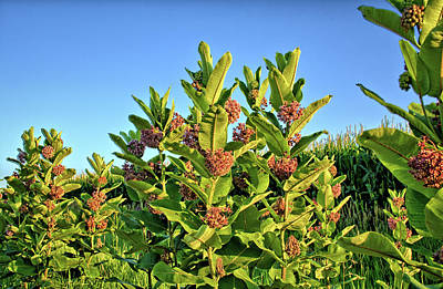 Photograph - Milkweed Patch by Bonfire Photography