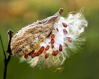 Photograph - Milkweed  Pod And Visitor by Carolyn Derstine