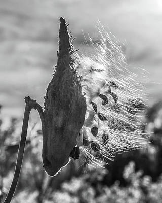 Milkweed Pod Back Lit B And W Art Print