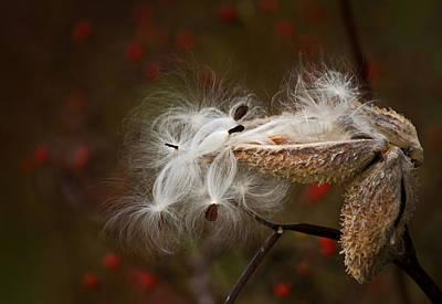 Photograph - Milkweed Pods by Elsa Marie Santoro