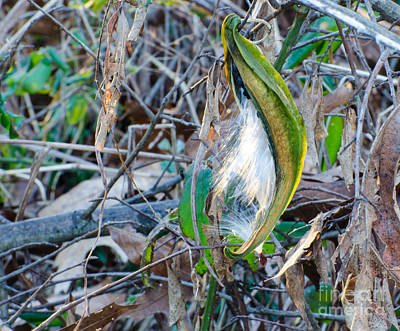 Photograph - Milkweed Seed Pod First Light by Donna Brown