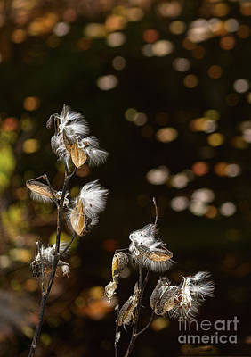 Photograph - Milkweed Seed Pods by Les Palenik