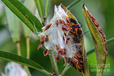 Photograph - Milkweed Seeds by Olga Hamilton