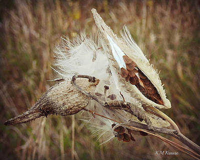 Photograph - Milkweed Seeds Packed In Pod by Kathy M Krause