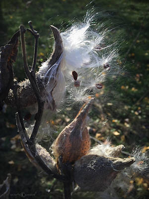 Photograph - Milkweed by Tim Nyberg