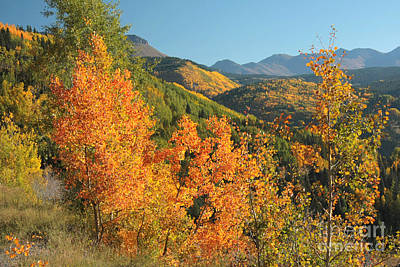 Photograph - Million Dollar Aspens by Frank Townsley