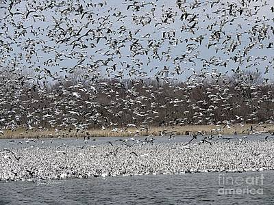 Photograph - Million Of Snow Goose  by Yumi Johnson