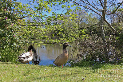 Photograph - Millpond Ducks Hayle by Terri Waters