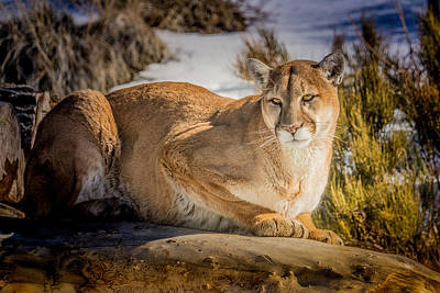 Mountain Lion Photograph - Milo At The Ark by Janis Knight