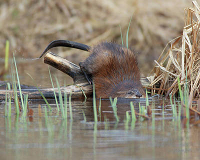 Photograph - Melvin The Muskrat by Gerry Sibell