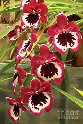 Photograph - Miltonia Hajamie Ono Black Falls Orchids by Judy Whitton