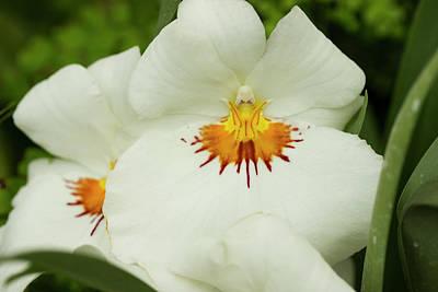 Miltoniopsis Hoggar Flower Original