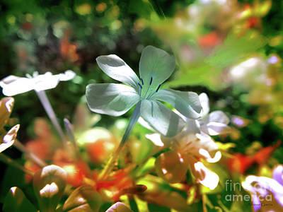 Photograph - Mimosa by Alfonso Garcia