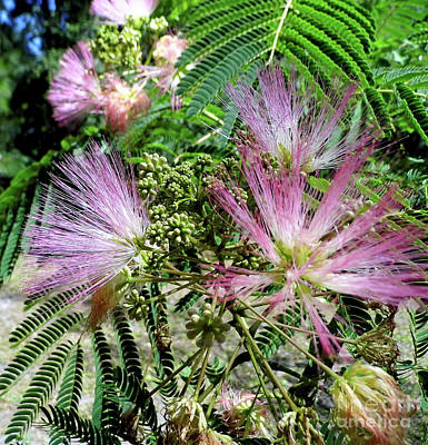 Photograph - Mimosa Blossoms by D Hackett