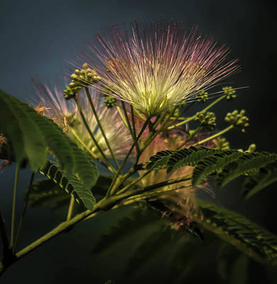 Advertising Archives - Mimosa Flower 2 by Debra Forand