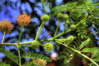 Photograph - Mimosa Flower Cluster by Richard Stephen
