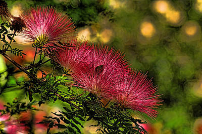 Mimosa Flowers Art Print by HH Photography of Florida