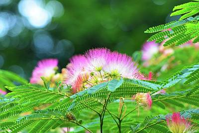 Photograph - Mimosa by Lisa Wooten