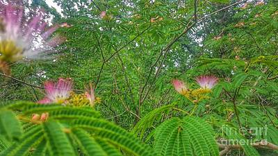 Photograph - Mimosa Magic by Rachel Hannah