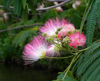 Photograph - Mimosa On The Lake by Anne Cameron Cutri