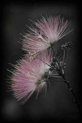 Photograph - Mimosa by Patricia Montgomery