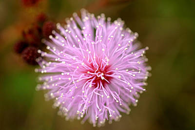 Mimosa Pudica Flower Print by Mark Mah