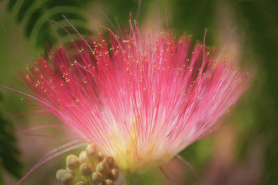 Mimosa Flowers Photograph - Mimosa Silk Optics by Donna Kennedy