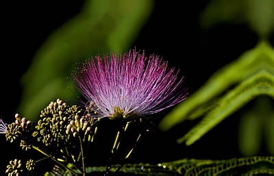 Mimosa Tree Bloom Art Print by Michael Whitaker