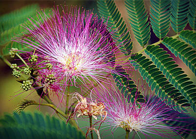 Mimosa Flowers Photograph - Mimosa's First Blooms by Cricket Hackmann