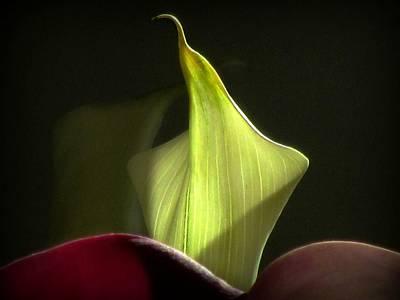 Photograph - Mini Calla Lily by Katie Wing Vigil