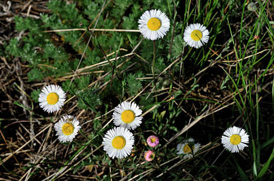 Photograph - Mini Daisies by Ron Cline