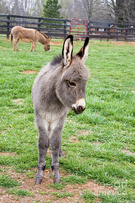 Photograph - Mini Donkey by Jill Lang