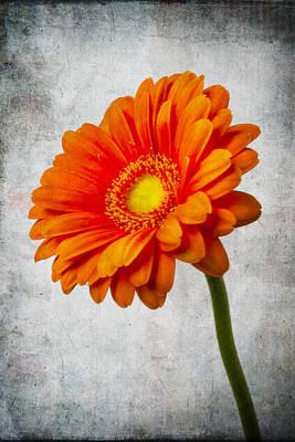 Gerbera Daisy Photograph - Mini Gerbera Orange Daisy by Garry Gay