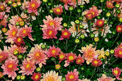 Photograph - Mini Mums Autumn Tones By Kaye Menner by Kaye Menner