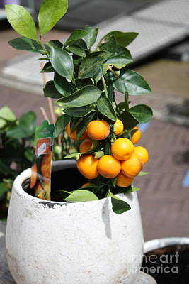 Photograph - Mini Orange Tree by Danielle Groenen
