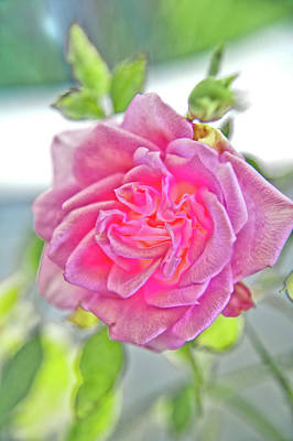 Photograph - Mini Pink Rose by Adria Trail