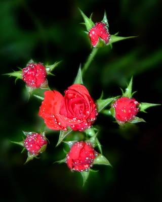 Flower Photograph - Mini Roses by Anthony Jones
