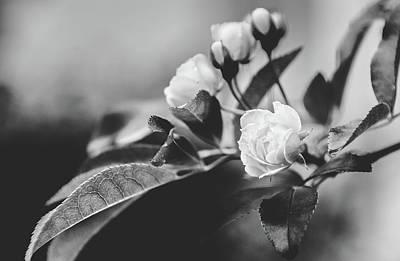 Photograph - Mini Roses Black White by Andrea Anderegg