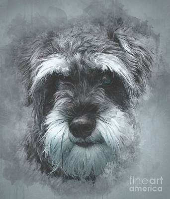 Photograph - Mini Schnauzer by Brian Tarr