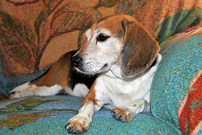 Foxhound Photograph - Miniature Beagle Relaxing by Sheila Fitzgerald